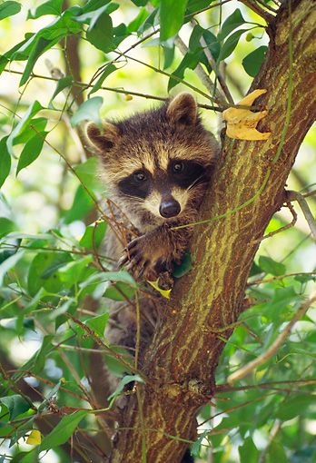 MAM 08 RS0023 01 © Kimball Stock Head Shot Of Raccoon In Tree