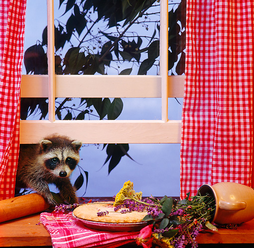 MAM 08 RS0031 02 © Kimball Stock Raccoon Sneaking In Window To Eat Pie