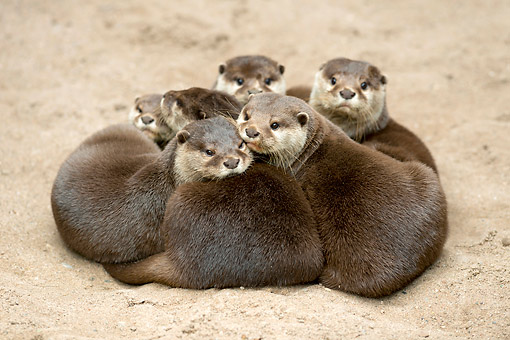 MAM 09 AC0005 01 © Kimball Stock Oriental Small-Clawed Otters Snuggling In The Sand, Germany