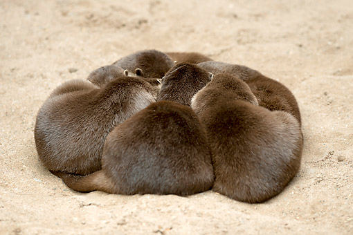 MAM 09 AC0006 01 © Kimball Stock Oriental Small-Clawed Otters Snuggling In The Sand, Germany