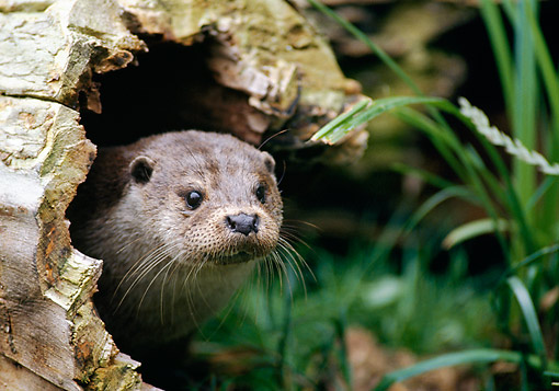 MAM 09 GL0002 01 © Kimball Stock European Otter Sitting In Hollow Log