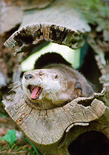 MAM 09 GR0002 01 © Kimball Stock Portrait Of River Otter Yawning In Hollow Log