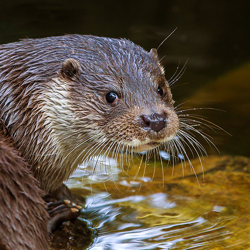 MAM 09 KH0001 01 © Kimball Stock Close-Up Of European Otter Sitting At Edge Of Water Germany