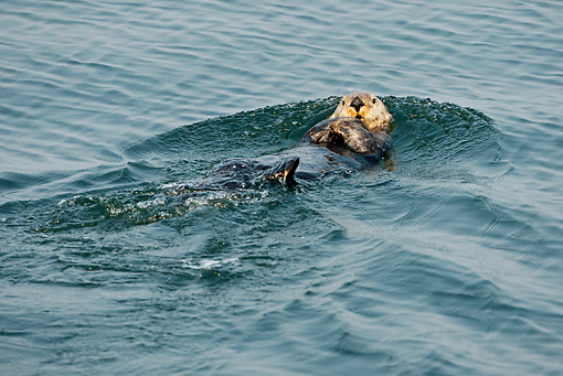 MAM 09 MC0002 01 © Kimball Stock Sea Otter Grooming While Floating On Back In Ocean Alaska