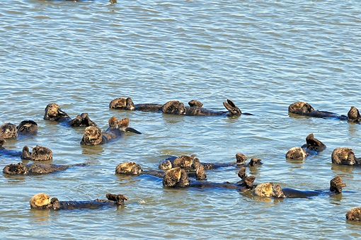 MAM 09 TL0039 01 © Kimball Stock Raft Of Sea Otters Floating In Ocean