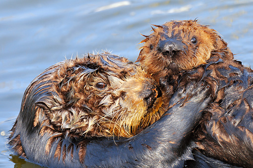 MAM 09 TL0041 01 © Kimball Stock Close-Up Of Sea Otter Mother Holding Pup In Ocean