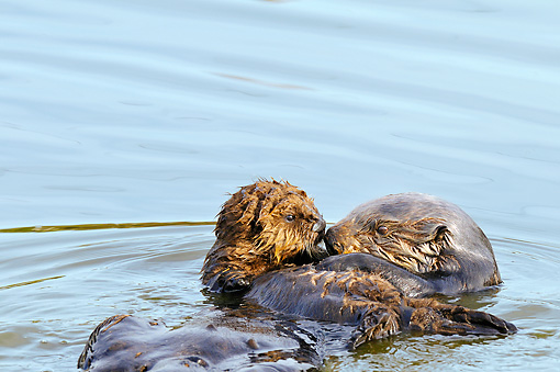 MAM 09 TL0042 01 © Kimball Stock Sea Otter Mother Floating On Back Holding Pup On Chest In Ocean