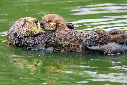 MAM 09 TL0043 01 © Kimball Stock Sea Otter Mother Floating On Back Holding Pup On Chest In Ocean