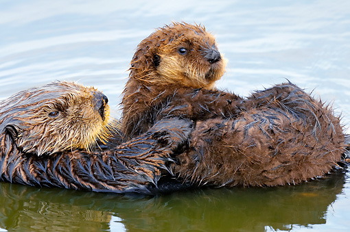 MAM 09 TL0044 01 © Kimball Stock Sea Otter Mother Floating On Back Holding Pup On Chest In Ocean