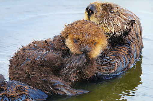 MAM 09 TL0045 01 © Kimball Stock Sea Otter Mother Floating On Back Holding Pup On Chest In Ocean