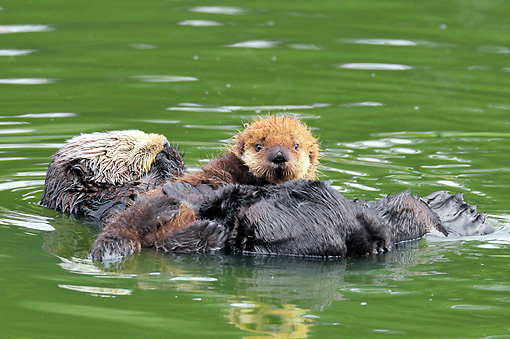 MAM 09 TL0046 01 © Kimball Stock Sea Otter Mother Floating On Back Holding Pup On Chest In Ocean