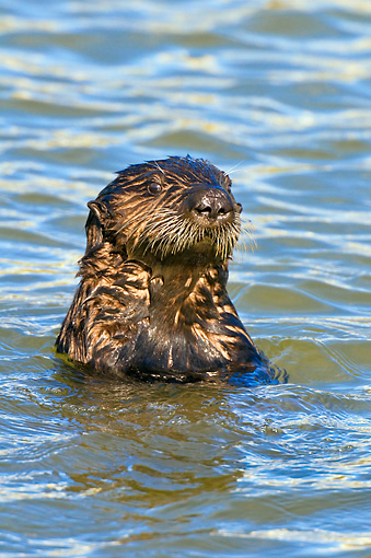 MAM 09 TL0048 01 © Kimball Stock Head Shot Of Sea Otter In Ocean