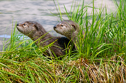 MAM 09 TL0049 01 © Kimball Stock North American River Otter Pups Sitting On Grass Covered Log Along Edge Of Lake