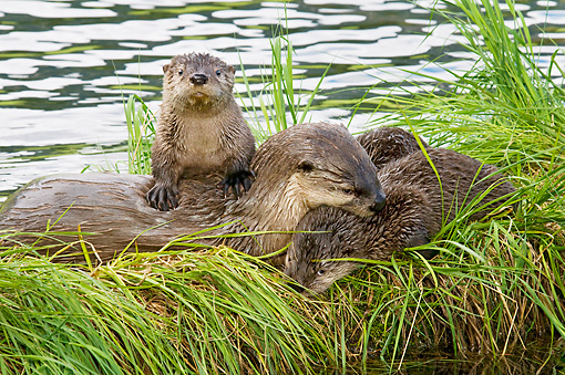 MAM 09 TL0050 01 © Kimball Stock North American River Otter Pups And Mother On Grass Covered Log Along Edge Of Lake