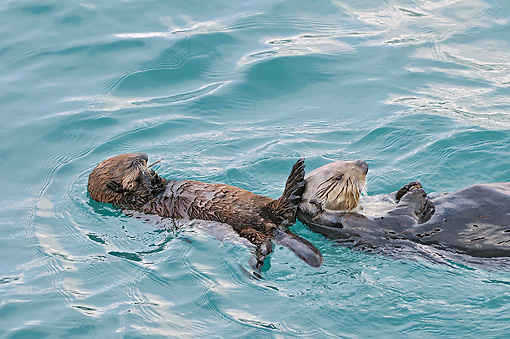 MAM 09 TL0052 01 © Kimball Stock Northern Sea Otter Mother And Pup Floating On Back