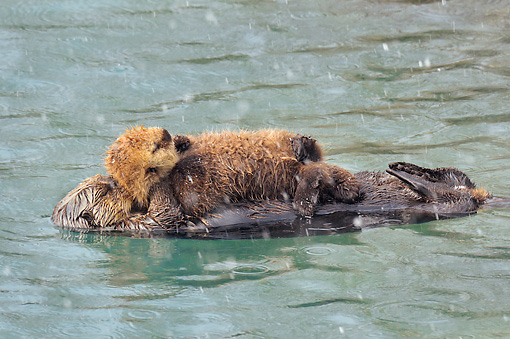 MAM 09 TL0053 01 © Kimball Stock Northern Sea Otter Mother With Pup Sleeping During Snow Shower