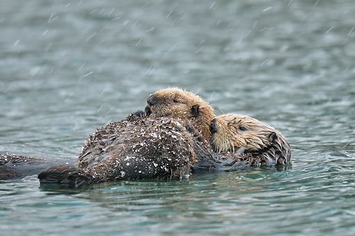 MAM 09 TL0054 01 © Kimball Stock Northern Sea Otter Mother With Pup Sleeping During Snow Shower
