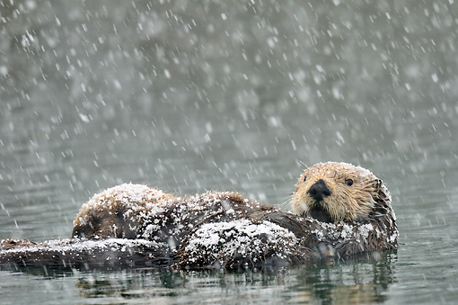 MAM 09 TL0055 01 © Kimball Stock Northern Sea Otter Mother Nursing Pup During Snowstorm