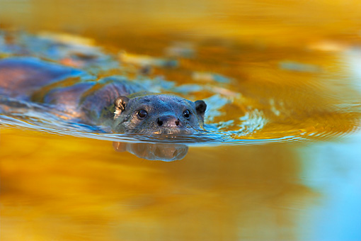 MAM 09 WF0001 01 © Kimball Stock European River Otter Swimming In Water With Autumn Colors