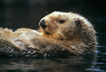 MAM 09 HB0002 01 © Kimball Stock Close Up Of Southern California Sea Otter On Back In Water