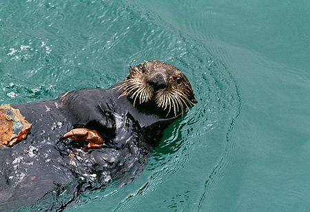 MAM 09 HB0003 01 © Kimball Stock Southern California Sea Otter On Back In Water Eating Crab