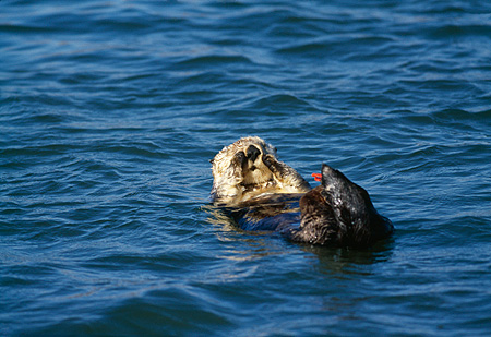 MAM 09 HB0004 01 © Kimball Stock Southern California Sea Otter On Back In Water Cleaning Face