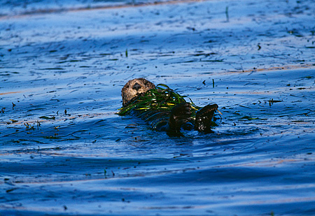 MAM 09 HB0005 01 © Kimball Stock Southern California Sea Otter On Back In Water Wrapped In Eel Grass