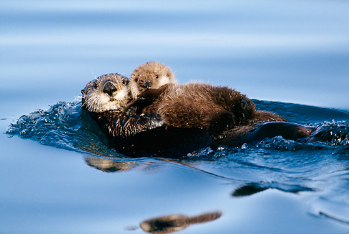 MAM 09 LS0001 01 © Kimball Stock Sea Otter Mother And Pup Floating On Back