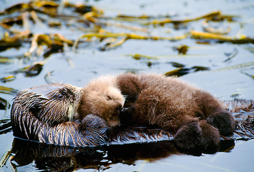 MAM 09 NE0002 01 © Kimball Stock Sea Otter Mother Grooming Pup On Belly