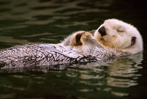 MAM 09 TL0001 01 © Kimball Stock Sea Otter Sleeping While Floating On Back