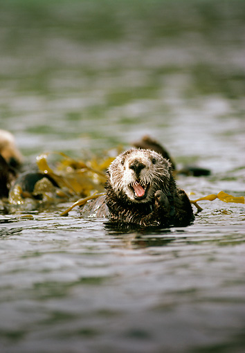 MAM 09 TL0002 01 © Kimball Stock Sea Otter Playing In Kelp Bed Mouth Open