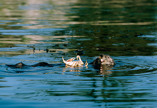 MAM 09 TL0003 01 © Kimball Stock Sea Otter Eating Crab While Floating On Back