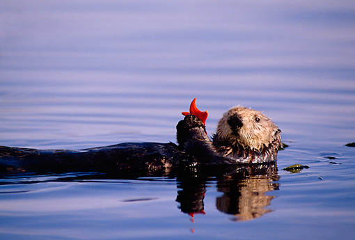 MAM 09 TL0004 01 © Kimball Stock Sea Otter Playing With Sea Star While Floating On Back