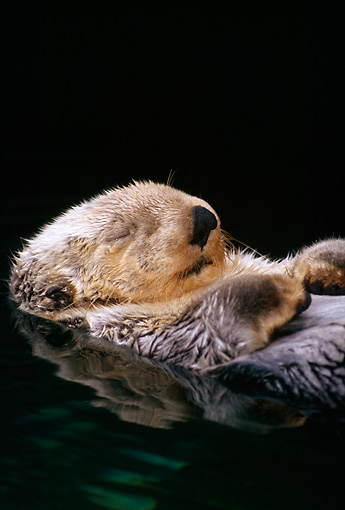 MAM 09 TL0006 01 © Kimball Stock Close Up Of Sea Otter Floating On Back While Sleeping