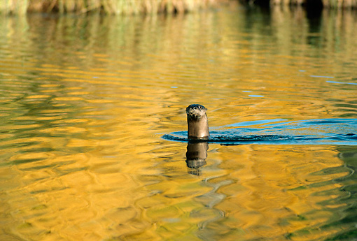 MAM 09 TL0010 01 © Kimball Stock River Otter Swimming In Pond In Autumn
