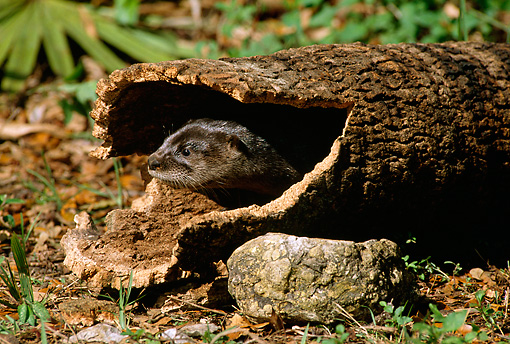 MAM 09 TL0013 01 © Kimball Stock Head Shot Of Young River Otter Peeking Out Of End Of Log