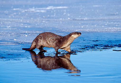 MAM 09 TL0015 01 © Kimball Stock River Otter Entering Water From Ice Patch On Lake