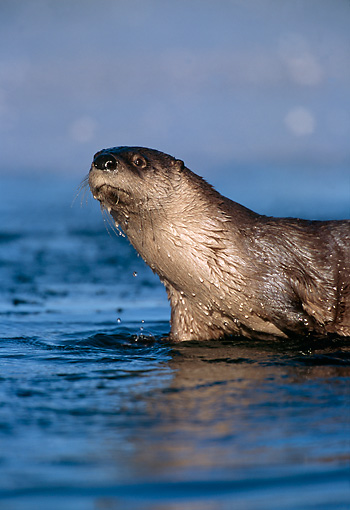 MAM 09 TL0016 01 © Kimball Stock Portrait Of River Otter Standing In Shallow Water In Winter