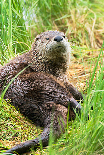 MAM 09 TL0018 01 © Kimball Stock River Otter Laying In Grass On Riverbank