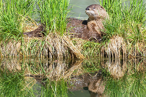 MAM 09 TL0019 01 © Kimball Stock River Otter Standing In Grass At Riverbank