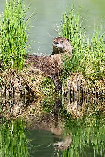MAM 09 TL0020 01 © Kimball Stock River Otter Standing In Grass At Riverbank