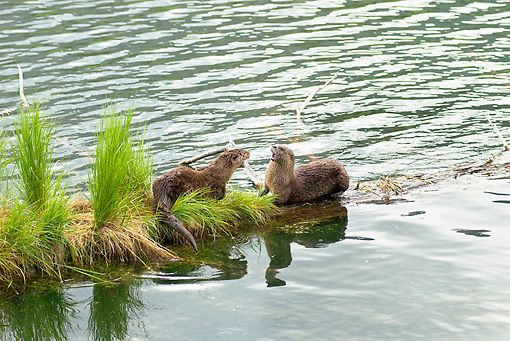 MAM 09 TL0021 01 © Kimball Stock Two River Otters Arguing On Riverbank