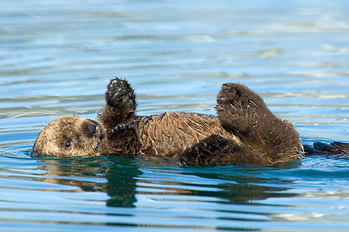 MAM 09 TL0023 01 © Kimball Stock Sea Otter Pup Floating On Back