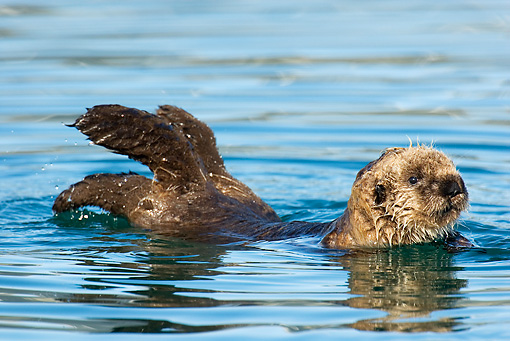 MAM 09 TL0024 01 © Kimball Stock Sea Otter Pup Swimming