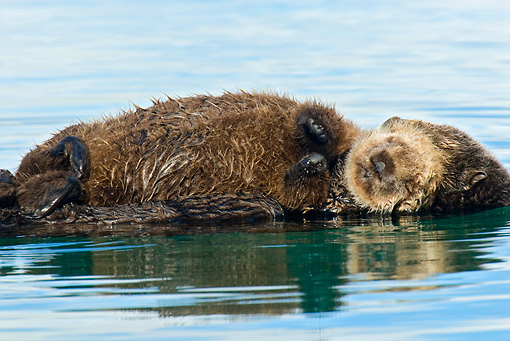 MAM 09 TL0025 01 © Kimball Stock Sea Otter Mother And Pup Sleeping While Floating On Back