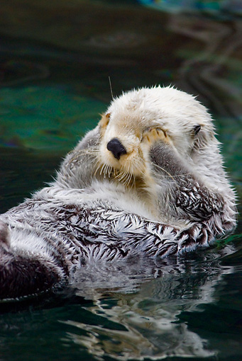 MAM 09 TL0028 01 © Kimball Stock Close-Up Of Sea Otter Floating On Back Covering Eyes With Paws