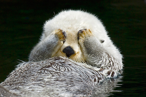MAM 09 TL0029 01 © Kimball Stock Close-Up Of Sea Otter Floating On Back Covering Eyes With Paws