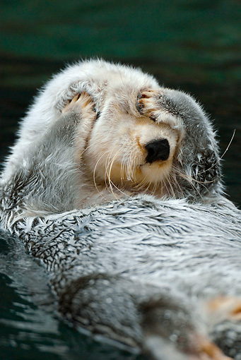 MAM 09 TL0030 01 © Kimball Stock Close-Up Of Sea Otter Floating On Back Covering Eyes With Paws
