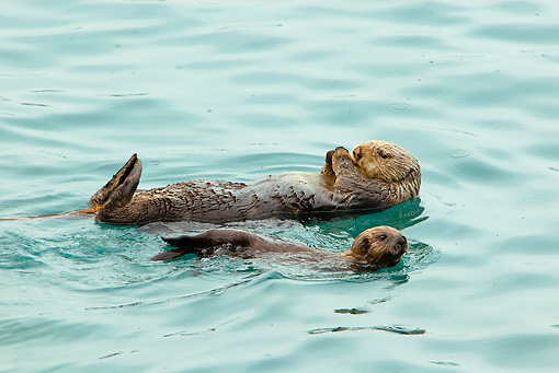 MAM 09 TL0033 01 © Kimball Stock Sea Otter Mother Floating On Back Next To Pup