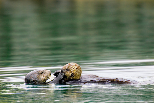 MAM 09 TL0035 01 © Kimball Stock Sea Otter Mother Floating On Back Next To Pup